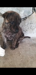 Mixed Brindle Pitbull  Puppies  - Pit Bull Terrier Dog