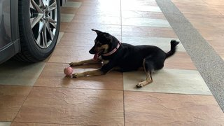 Tina - Miniature Pinscher Mix Dog