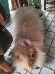 Loopy  - Holland Lop Rabbit