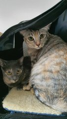 Scotty & Pinto - Domestic Short Hair Cat