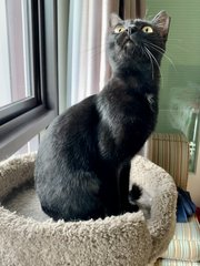 Americano - Domestic Short Hair Cat