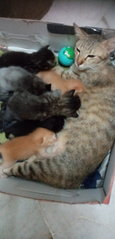 Mother And Kittens - Domestic Short Hair Cat