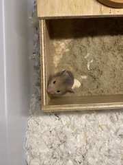 Hamster Baby (No Name Yet) - Syrian / Golden Hamster Hamster