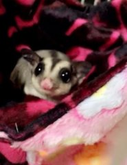 Bambi - Sugar Glider Small & Furry