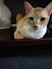 Oj (Oyen Junior) - Domestic Short Hair Cat