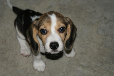 VIVI - Beagle Dog