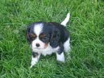 Tommy - Cavalier King Charles Spaniel Dog