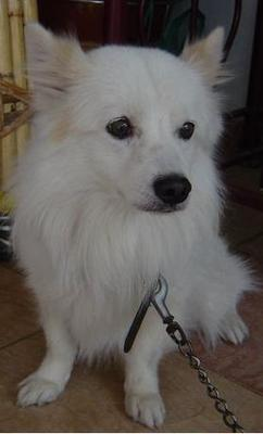 Tiger - Spitz Mix Dog