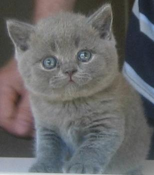 Wanaka - British Shorthair Cat