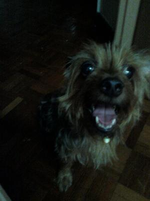 Daiji - Yorkshire Terrier Yorkie Dog