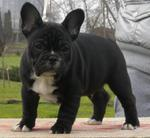 Beamer - French Bulldog Dog