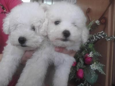 Snow White Poodle - Poodle Dog