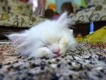 Snowbell @ Bella - Domestic Long Hair Cat