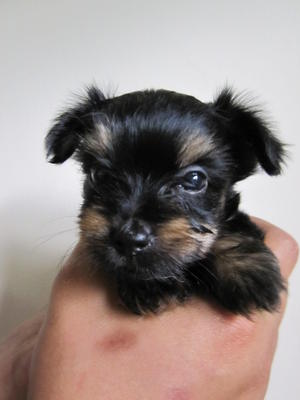 Chihuahua Yorkshire Terrier Yorkie Puppies Sold 8 Years 3 Months