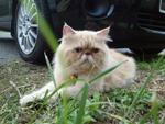 Boy - Persian Cat