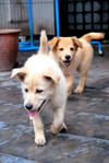 Puppies Johor Bahru - Mixed Breed Dog