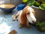 Unknown0009 - Basset Hound Dog