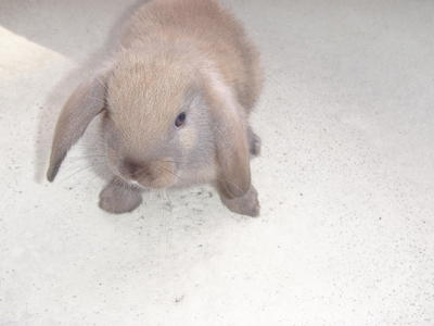 Chocolate - Holland Lop Rabbit