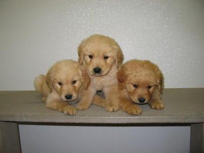 Golden Retriever Puppy Sold 2 Months Golden Retriever Male Puppy