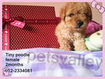 Tiny Poodle For Sale~~ - Poodle Dog