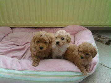 Mini Toy Poodle Puppies - Poodle Dog