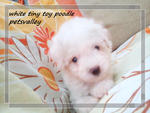White Tiny Poodle For Sale~ - Poodle Dog