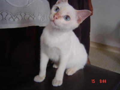 White Kitten - Domestic Short Hair Cat