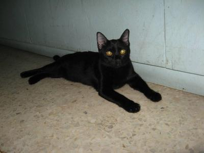 Black Beauty - Domestic Short Hair Cat