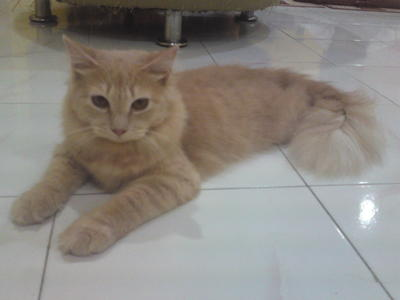 Kucing Kampung Warna Cream Persian Domestic Long Hair