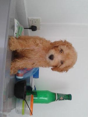 Wanna Bring Me Home! !!!!!! - Poodle Dog