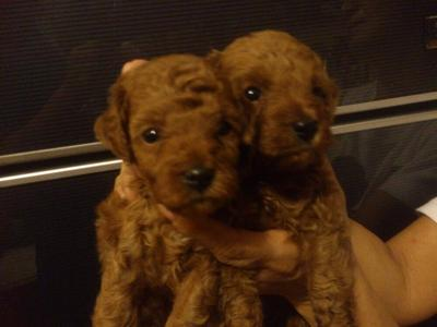 Toy Poodle  - Poodle Dog