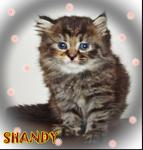 Shandy - Persian Cat