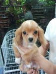 1 Quality Puppy - Cavalier King Charles Spaniel Dog