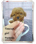 Teacup Poodle~~~~~~~~ - Poodle Dog
