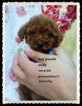 Toy Poodle Promotion!!! - Poodle Dog