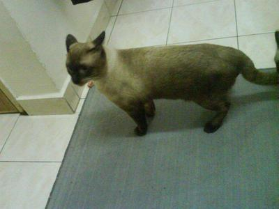 Ninie - Siamese + Domestic Short Hair Cat