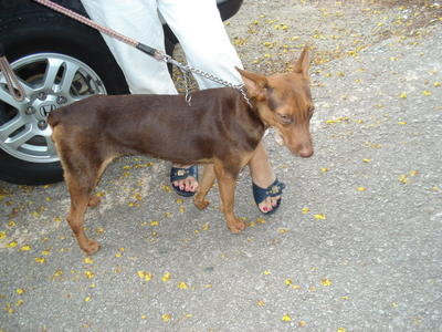 PF29251 - Doberman Pinscher Mix Dog