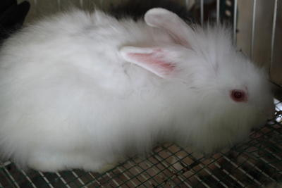 Multibreed - Angora Rabbit + Bunny Rabbit Rabbit