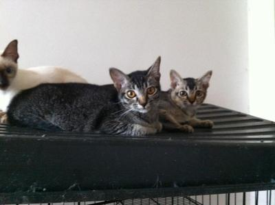 2 Cute Kittens - Domestic Short Hair Cat