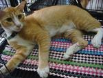 Garfield (Oren) - Domestic Short Hair Cat