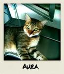 Aura  - Domestic Short Hair Cat