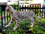 Dazzle - Bengal Cat