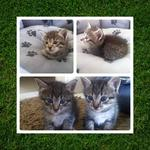 2 DMH Kittens - Domestic Medium Hair Cat