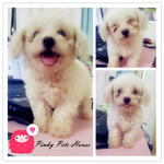 White Male Toy Poodle - Poodle Dog