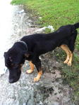 Martin, 1+ year old, rottweiler cross, male, abandoned by owner, very loving and friendly