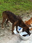 Tiger, 5mth old mongrel pup, male, very loving and friendly