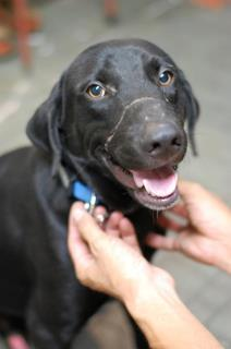 Boy Boy - Labrador Retriever Mix Dog