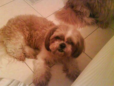 Tippy - Shih Tzu Dog