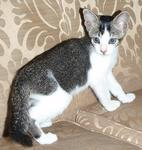 PF32368 - Domestic Short Hair Cat