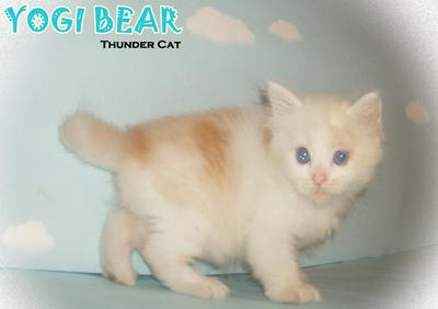 Yogi Bear (Short Tail) - Ragamuffin Cat